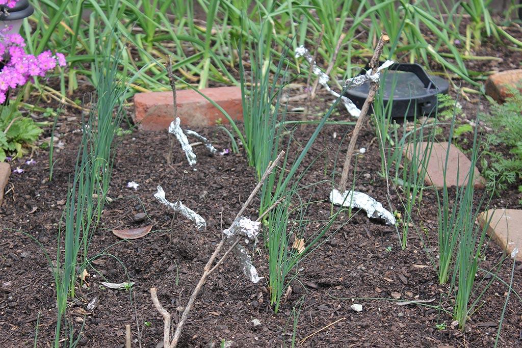 Baby leeks in the garden