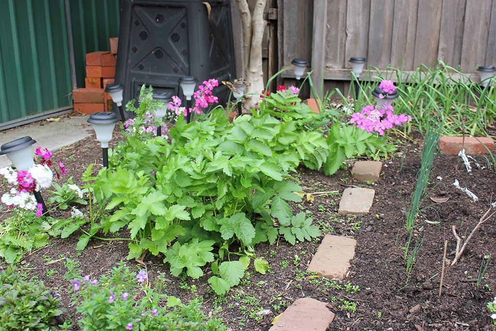 Parsnips growing in the garden